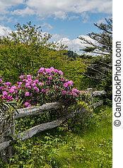 drewniany, kwiat, rododendron, stary, płot