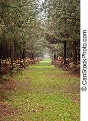 drzewo, długi, jesień, przez, sosna, upadek, ścieżka, las