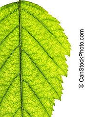drzewo liść, odizolowany