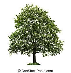 drzewo, odizolowany, klon, dojrzały