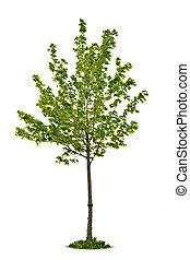 drzewo, odizolowany, klon, młody