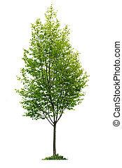 drzewo, odizolowany, młody
