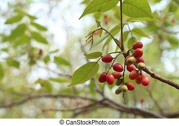drzewo owocu, cud