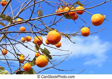 drzewo, persimmon