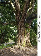 drzewo, rainforest, maui, hawaje