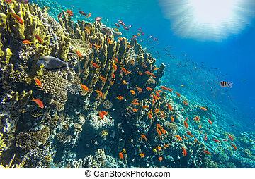 egipt, podwodny, krajobraz, czerwone morze