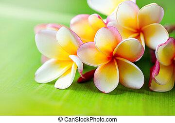 egzotyczny kwiat, liść, frangipani, tropikalny, zielony, plumeria, tło, zdrój, kwiaty, closeup.