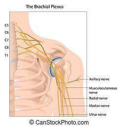 eps10, brachial, splot