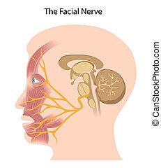 eps10, twarzowy, nerw