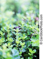 evergreen, latorośle, krzak, młody