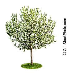 flowering drzewo, odizolowany, jabłko