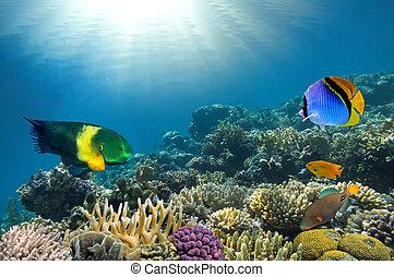 fotografia, koral, kolonia, górny, rafa