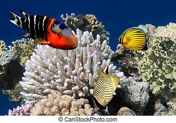 fotografia, koral, kolonia, rafa