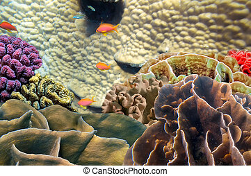 fotografia, rafa, czerwone morze, koral, kolonia