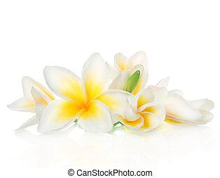 frangipani, kwiaty, zdrój