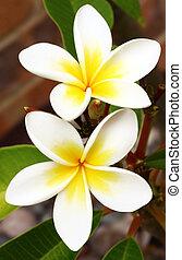 frangipani, (plumeria)