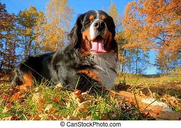 góra, szczęśliwy, bernese, pies, outdoors
