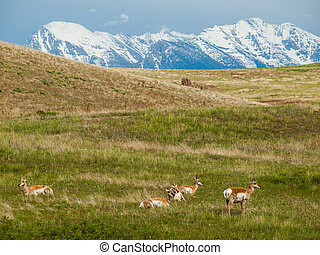 góry, antylopa, usa, krajowy, snowcapped, pole, skala, montana, bizon
