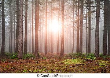 gęsty, wysadzanie, słońce, drzewa, jesień, mgła, przez, las, upadek, krajobraz