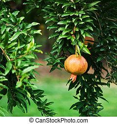 granat, drzewo owocu