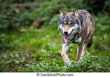 gray/eurasian, lupus), wilk, (canis