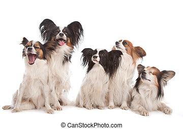 grupa, papillon, piątka, psy