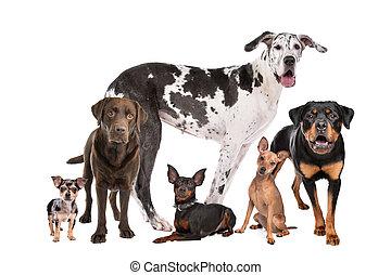 grupa, psy, wielki