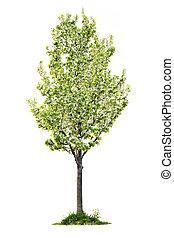 gruszka, flowering drzewo, odizolowany