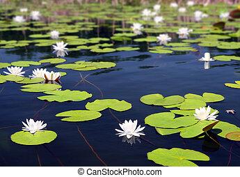 grzybień, lato, kwiaty, jezioro