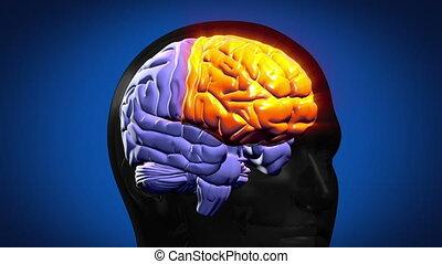highlighted, mózg, strony