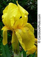 irys, żółty