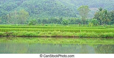 jesień, pole, ryż