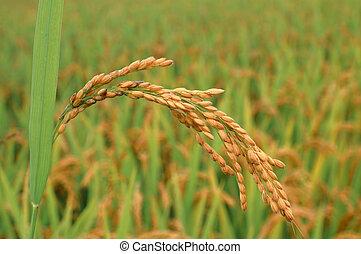 jesień, ryż, ucho