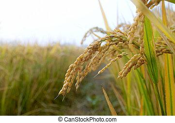 jesień, ryżowe rozdrażnienie