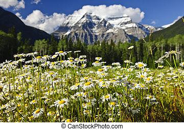 kanada, prowincjonalny, obsada, robson, park, margerytki