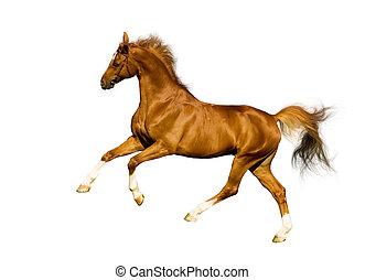 kasztan, koń, biały, odizolowany