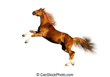 kasztan, koń, odizolowany, white.
