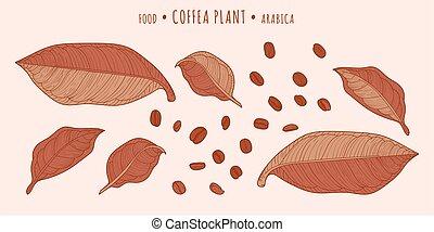 kawa, plant., coffea, fasola, liście