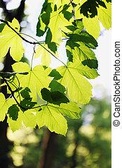 klon, skoczcie foliage