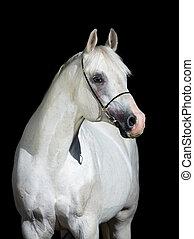 koń, arabski, czarnoskóry, odizolowany