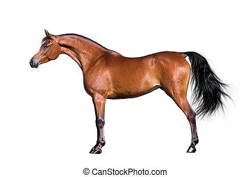 koń, arabski, odizolowany, biały