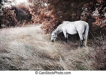 koń, biały