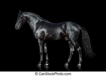 koń, czarnoskóry, odizolowany
