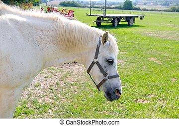 koń, na wolnym powietrzu, rpofile, łąka, portret, biały