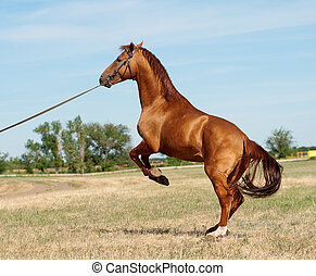 koń, tylny
