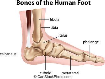 kość, stopa, ludzki