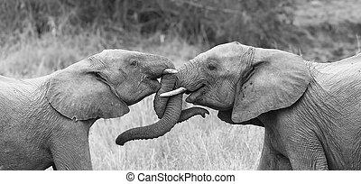 kochający, zamiana, pnie, curling, dwa, powitać, dotykanie, artystyczny, słoń