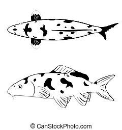 koi, biały, czarnoskóry, fish