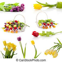 komplet, barwny, tulipany, odizolowany, flowers., tło, wiosna, świeży, biały