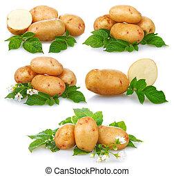 komplet, dojrzały, kartofle, odizolowany, zielony, liście, roślina
